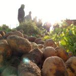 Kleines Einmaleins der Kartoffelernte