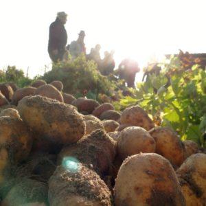 Original Berliner Bio-Bauerngarten-Kartofffeln