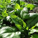 Spinaternte: Frisches Grün im Herbst