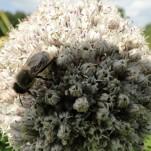 Lauchblüte mit Biene