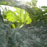 Weißgepudert: Kürbis und Zucchinipflanzen geschminkt?