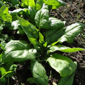 Spinat vereinzeln