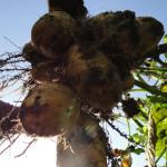 Kartoffeln: Ernten, essen, lagern