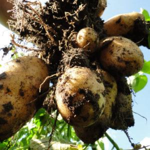 Ackerkurs Mette – Ernte und Lagerung