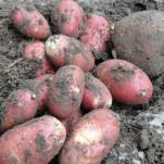Kartoffeln und Möhren