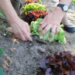 Schießende Salate