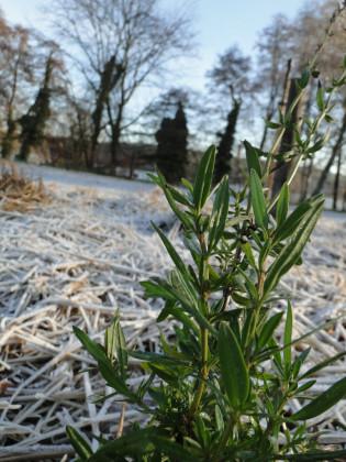 Wintereindruck Havelmathen 11.1 Kräuter