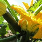 Zucchini entdeckt!
