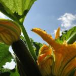 Ackerkurs Havelmathen – Fruchtgemüse im Freiland