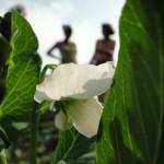 Buschbohnen und Erbsen in Blüte