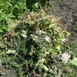 mulchen im biogarten erbsen laub