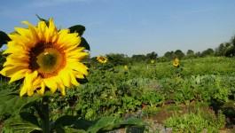 Sonnenblume im Bauerngarten