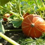 Ackerkurs Mette – Fruchtgemüse im Freiland