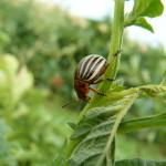Ackerkurs Pankow – Pflanzengesundheit