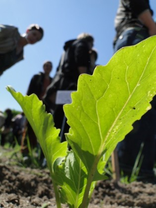 Kohlrabi Jungpflanze Saisoeröffnung