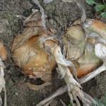 Zwiebeln trocken im bauerngarten Beet