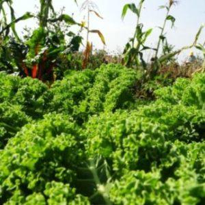 Brokkoli und Grünkohl – wann ernten?