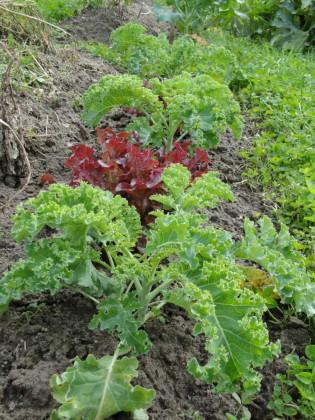 bauerngarten Grünkohl SalatBeet