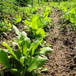 Blüht der Spinat?