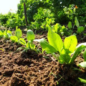 Spinat wächst und gedeiht