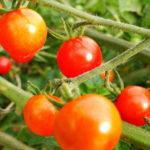 bauerngarten Rote Murmel Tomate