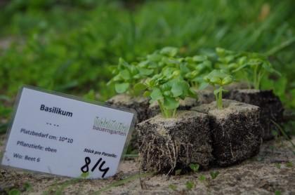 Mai Pankow Jungpflanzen Basilikum (2)