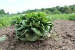 Salat will gegessen werden