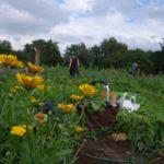 Erntezeit im Garten - bauerngarten berlin
