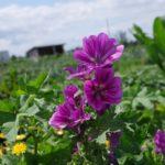Malvenblüte im Juli in Mette