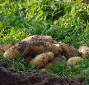 Berliner Bio-Kartoffeln aus dem bauerngarten