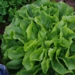 Salaternte im Herbst