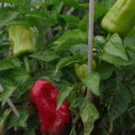 Berliner Paprika-Ernte im bauerngarten