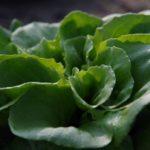Berliner Salat selber ernten
