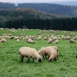 Demo: Schafhaltung in Deutschland erhalten